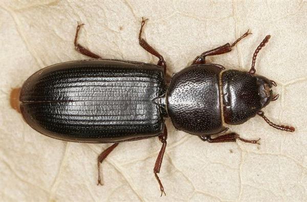 Tenebroides mauritanicus Entomologia agraria Struggigrano