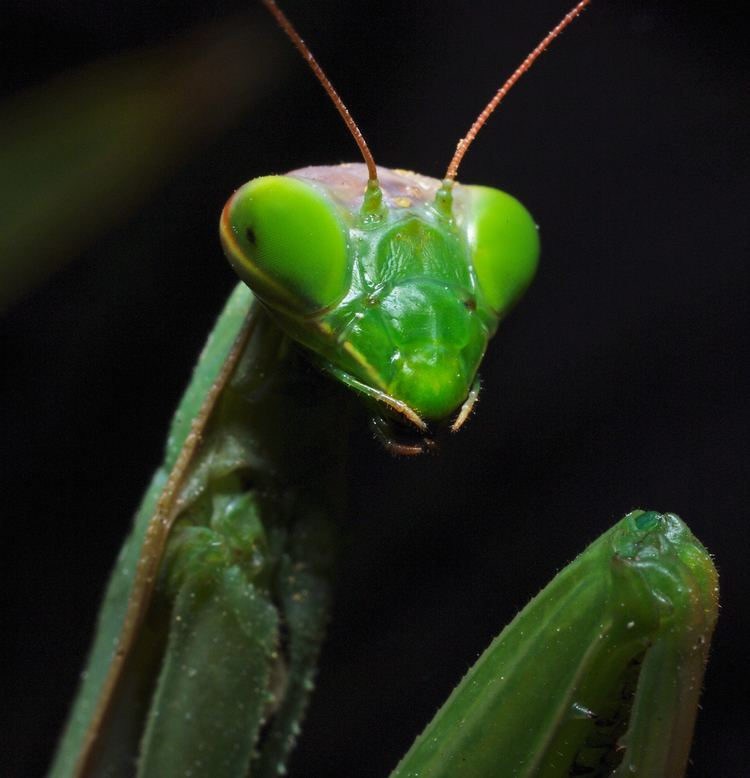 Tenodera aridifolia praying mantis