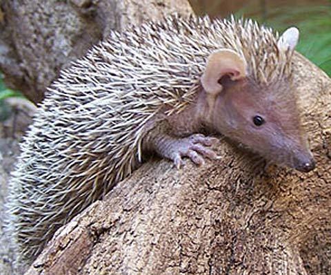 Tenrec 1000 images about Tenrec Tenrecidae tenrecs on Pinterest