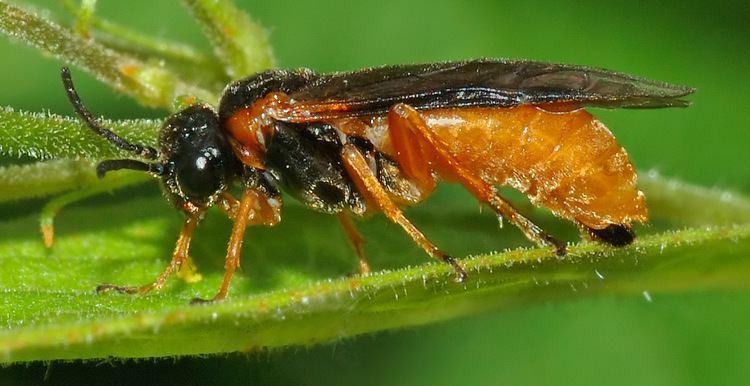 Tenthredinidae Bladsteklar Wikipedia