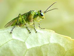 Tenthredinidae Tenthredinidae Wikipedia la enciclopedia libre