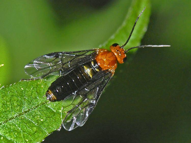 Tenthredinidae httpsuploadwikimediaorgwikipediacommonsff