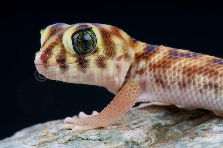 Teratoscincus REPTILES4ALL Wonder gecko Teratoscincus scincus