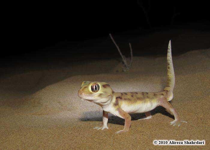 Teratoscincus CalPhotos Teratoscincus microlepis Baloch Sand Gecko