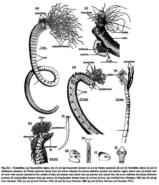 Terebellidae Loimia sp Renato Von Glehn Paes