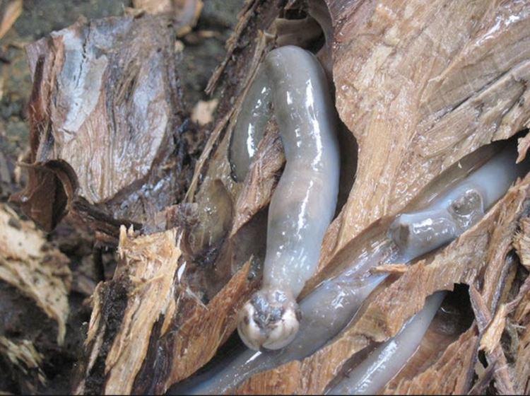 Teredo navalis The 39Teredo navalis39 the Termites of the Sea POI Australia