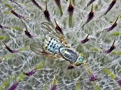 Terellia serratulae httpsuploadwikimediaorgwikipediacommonsthu