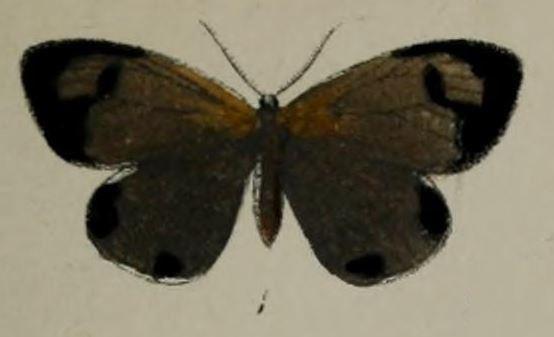 Terina (moth)