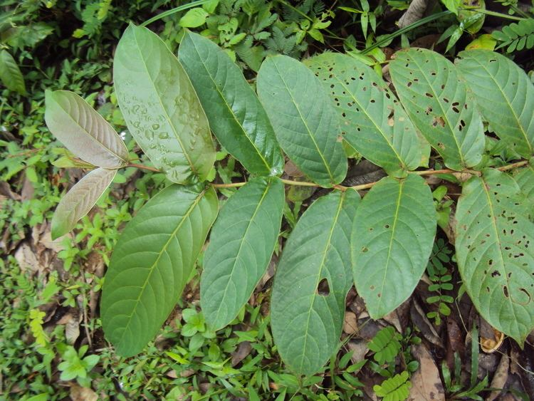 Terminalia paniculata Terminalia paniculata Images Useful Tropical Plants