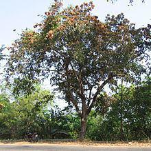 Terminalia paniculata httpsuploadwikimediaorgwikipediacommonsthu
