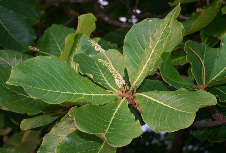 Terminalia (plant)