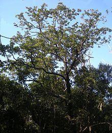 Terminalia porphyrocarpa httpsuploadwikimediaorgwikipediacommonsthu