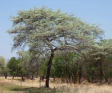 Terminalia sericea httpsuploadwikimediaorgwikipediacommonsthu