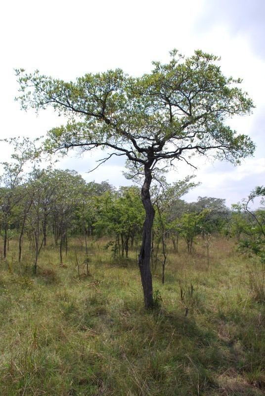Terminalia sericea Photo Guide to Plants of Southern Africa