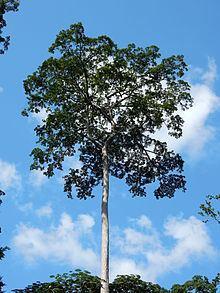 Terminalia superba httpsuploadwikimediaorgwikipediacommonsthu