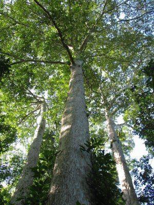 Terminalia superba Commercially Useful Trees of the Lancetilla Botanical Garden