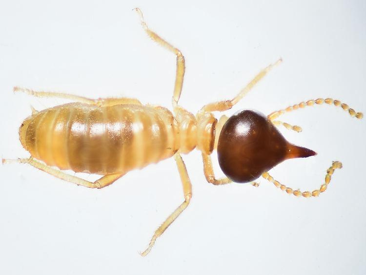 Termite Termites Facts Photos amp Extermination Information