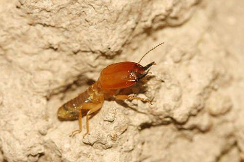Termitidae A termite soldier Termitidae Macrotermitinae in Uganda Flickr