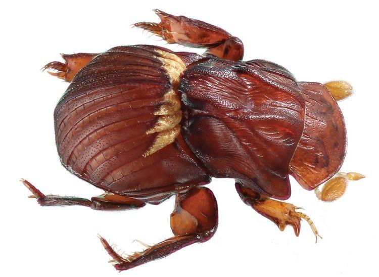 Termitotroginae