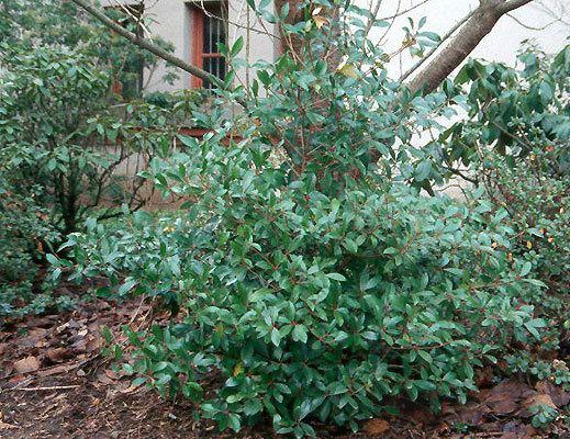 Ternstroemia Ternstroemia gymnanthera Landscape Plants Oregon State University
