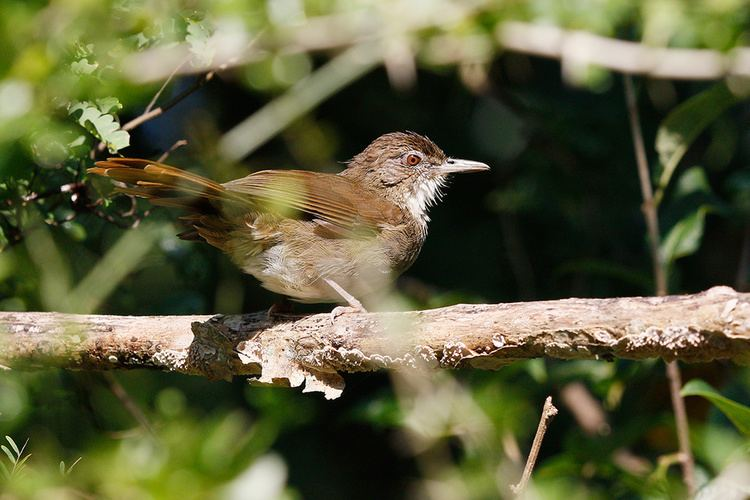 Terrestrial brownbul Terrestrial Brownbul Bird amp Wildlife Photography by Richard and