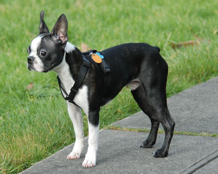 Terrier Terrier Wikipedia