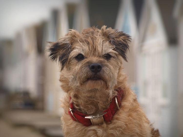 Terrier httpsuploadwikimediaorgwikipediacommonsff