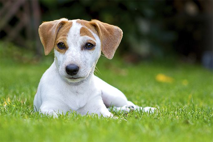 Terrier Rat Terrier Dog Breed Information Pictures Characteristics amp Facts