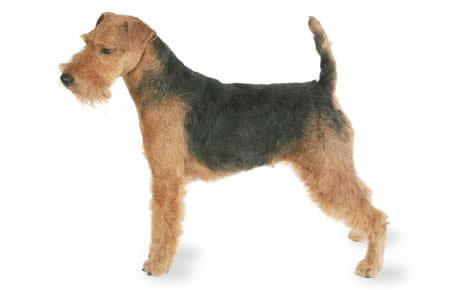 Terrier Welsh Terrier Dog Breed Information Pictures Characteristics