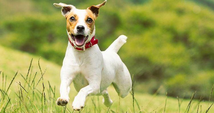 Terrier 14 top terrier breeds Cesar39s Way