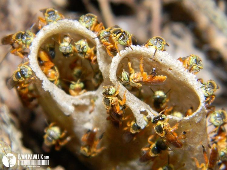 Tetragonisca angustula BioPhotos Ivan Pawluk Biodiversidad Tetragonisca Angustula