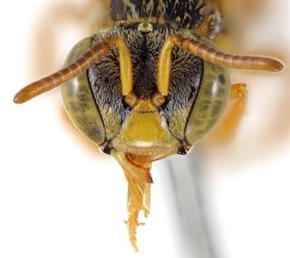 Tetragonisca angustula Tetragonisca angustula Discover Life