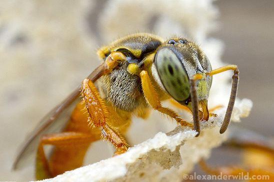 Tetragonisca angustula Bees