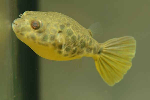 Tetraodon schoutedeni Tropical Fish Findercouk The ultimate UK fish keeping resource