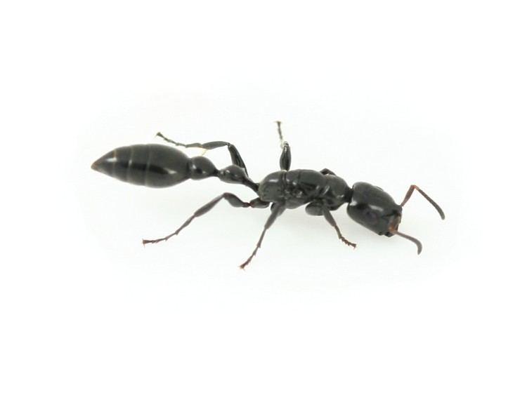 Tetraponera ANTSHOP Switzerland Ameisenshop Ameisen kaufen Tetraponera nigra