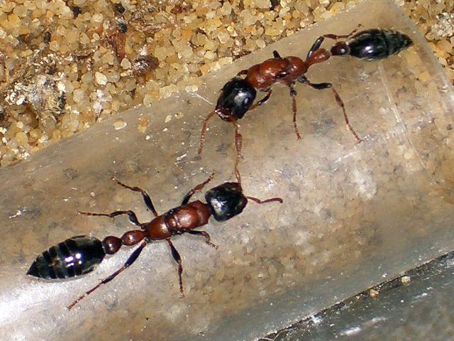Tetraponera Ants Kalytta Tetraponera rufonigra