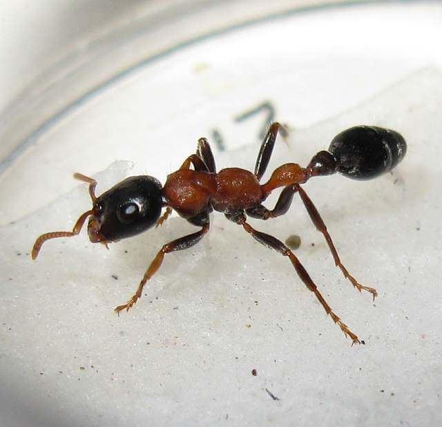 Tetraponera Photos and Info on Ants and Termites of Malaysia Tetraponera