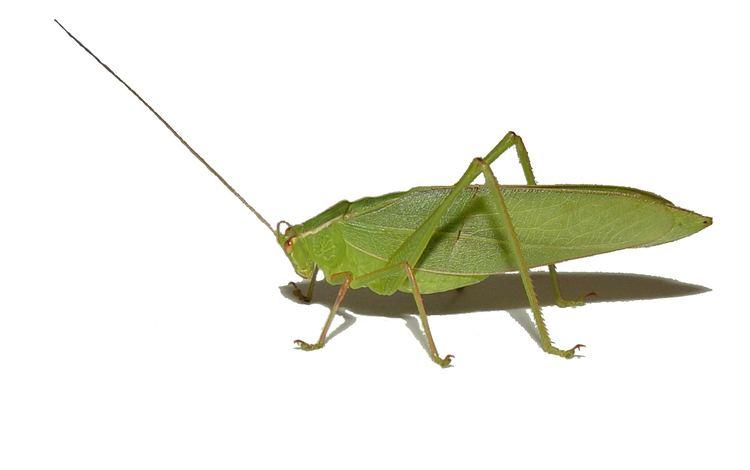 Tettigoniidae Tettigoniidae