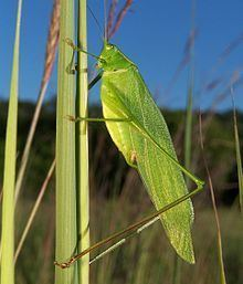 Tettigoniidae httpsuploadwikimediaorgwikipediacommonsthu