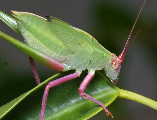 Tettigoniidae Katydid Tettigoniidae family