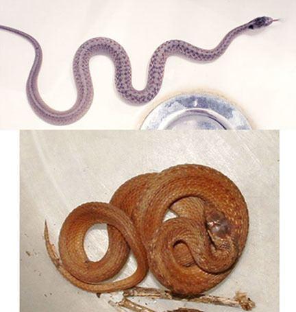 Texas brown snake - Alchetron, The Free Social Encyclopedia