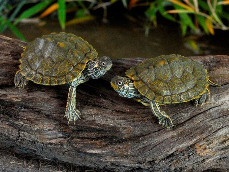 Texas Map Turtle Alchetron The Free Social Encyclopedia