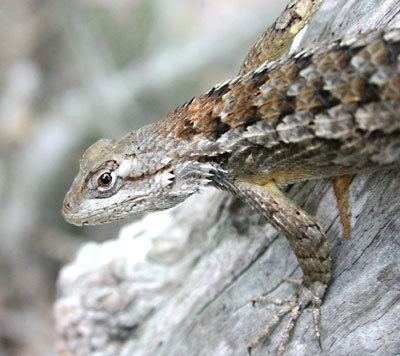 Texas spiny lizard wwwpetlizardcomimagestexasspinylizard01jpg