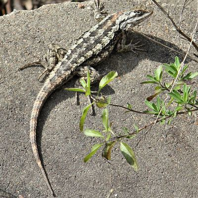 Texas spiny lizard Spiny Lizard