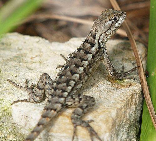 Texas spiny lizard Texas Spiny Lizard Sceloporus olivaceus 01 Texas Spiny L Flickr