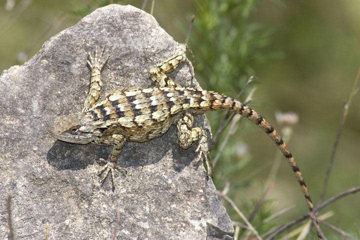 Texas spiny lizard Texas Spiny Lizard Sceloporus olivaceus