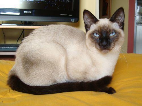 Thai cat - Alchetron, The Free Social Encyclopedia