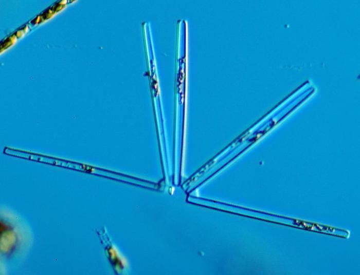 Thalassionema nitzschioides Thalassionema nitzschioides Grunow Grunow ex Hustedt 1932