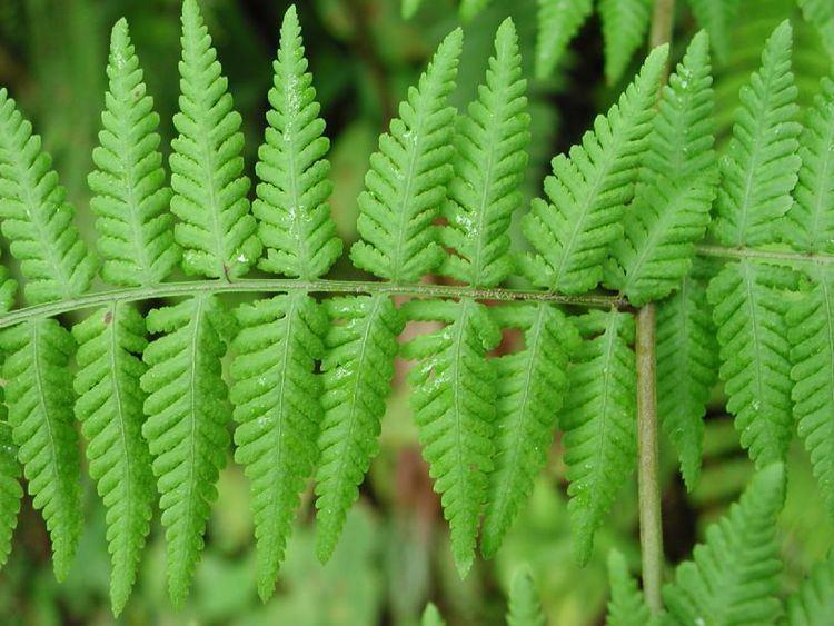 Thelypteridaceae Macrothelypteris torresiana Thelypteridaceae image 4230 at