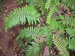 Thelypteridaceae httpsuploadwikimediaorgwikipediacommonsthu